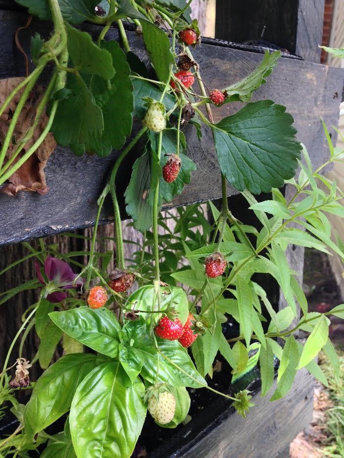 Vertical Garden Strawberries