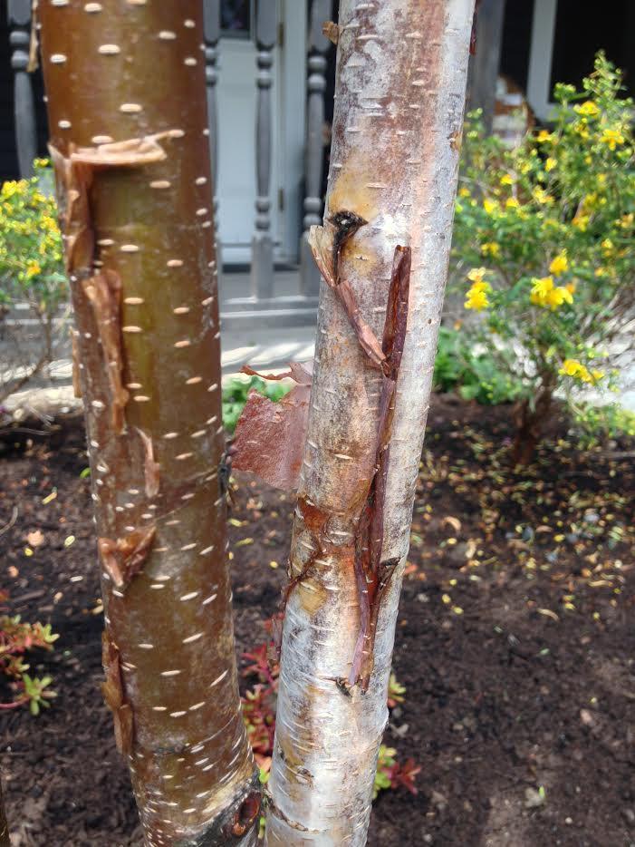 Paper Bark Birch Bark
