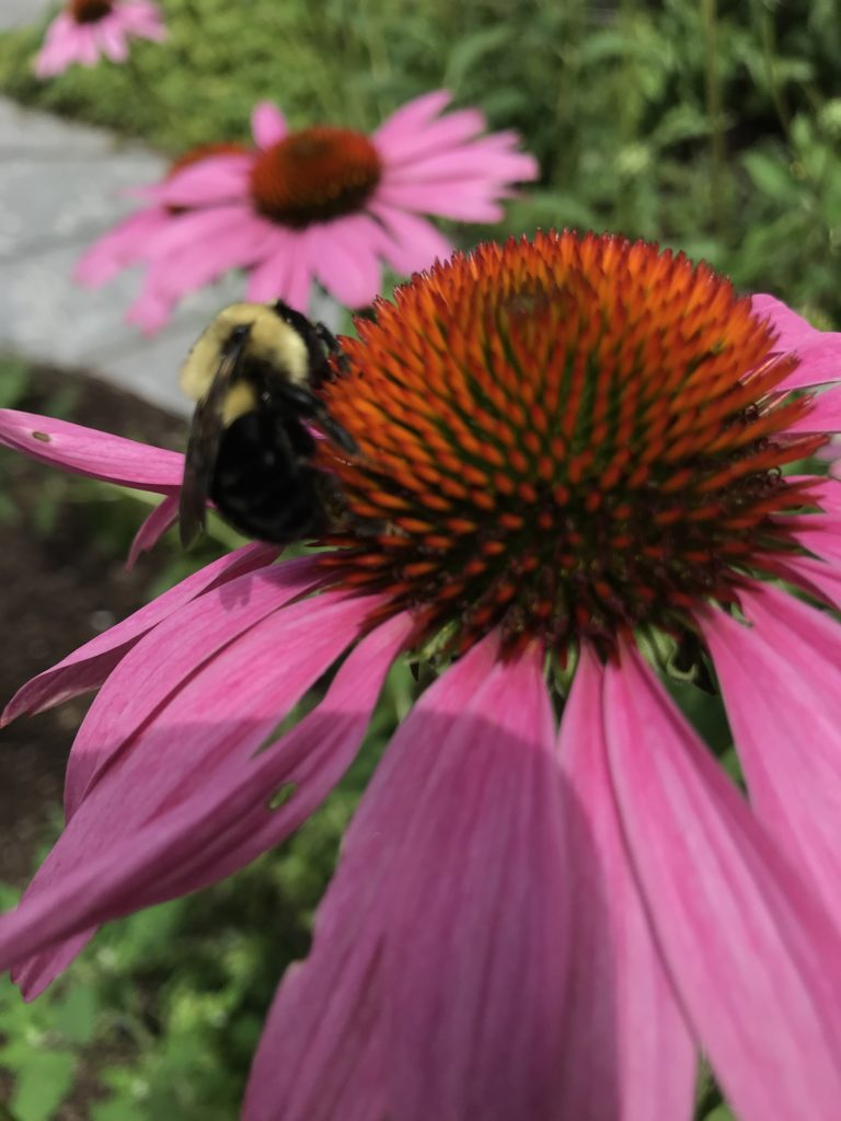 Bee on Purple Coneflower