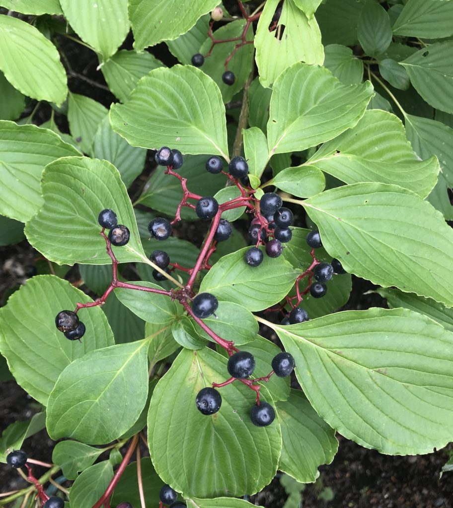 pagoda dogwood with berries